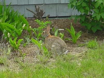 One of the Cottage Bunnies